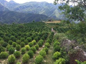 Fotografi e një plantacioni me kanabis në Shqipërinë e veriut publikuar nga policia në gusht 2016. Foto: Policia e Shtetit.